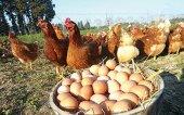 Продаются Домашние куры и яйца в Афинах