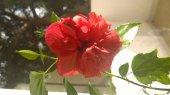Подарю сортовую китайскую розу в Афинах