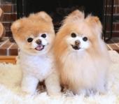 Ищем партнеров для открытия шоу-рума по продаже щенков породы шпиц